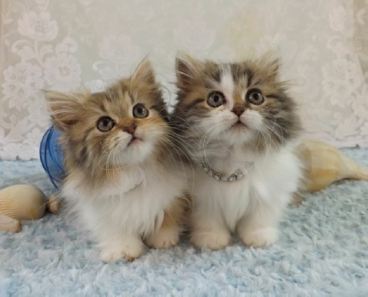 Tiny Lion Napoleons (minuet) Kittens